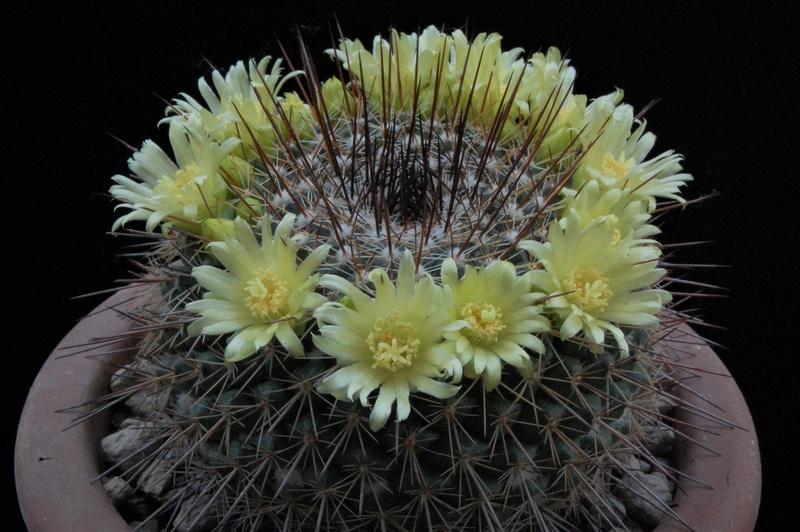 Mammillaria cobrensis 8403-211