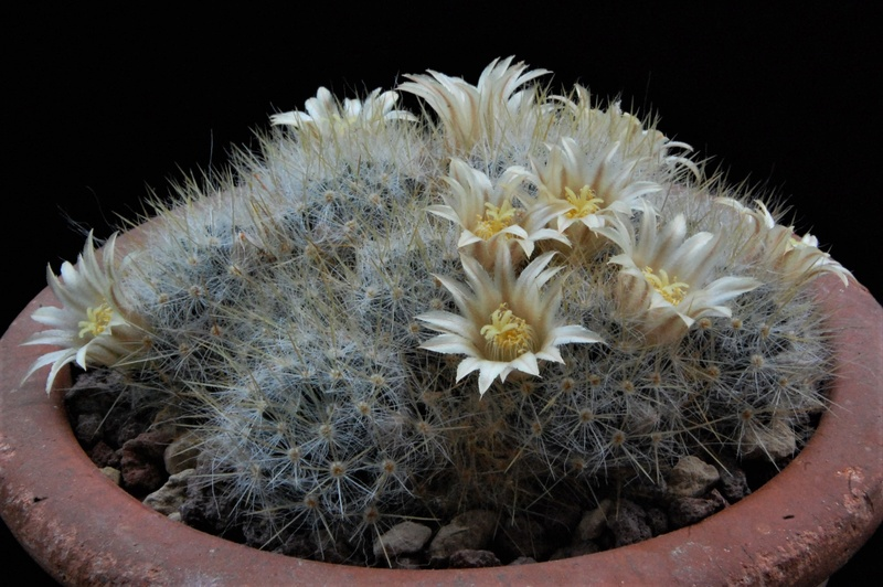 Mammillaria multiceps 8464-210