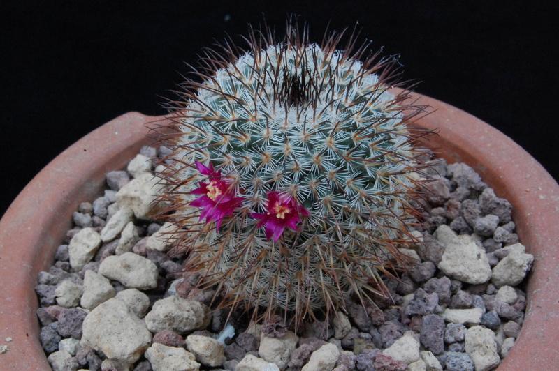 Mammillaria meissneri 8617-210
