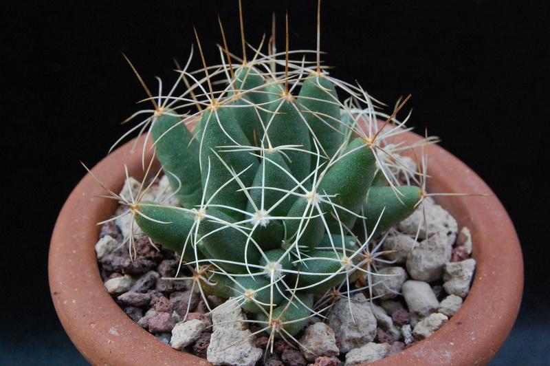 Mammillaria longimamma 8637-210