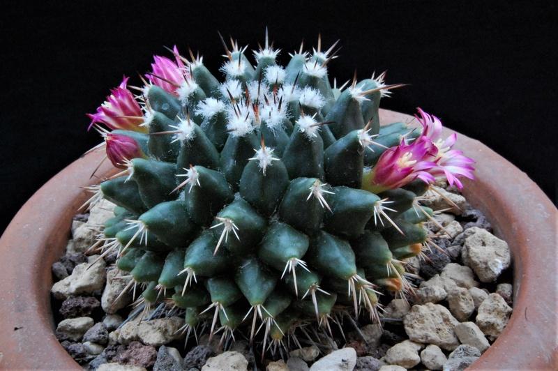 Mammillaria jalpamensis 8649-212