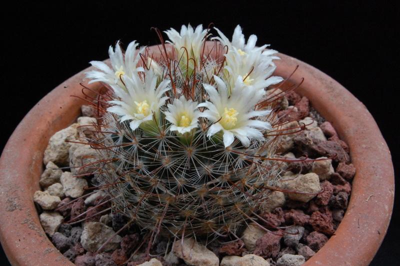 Mammillaria mercadensis 9233-210