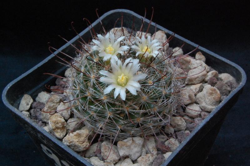 Mammillaria mercadensis 9233-211