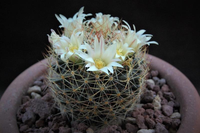 Mammillaria picta 9237-210