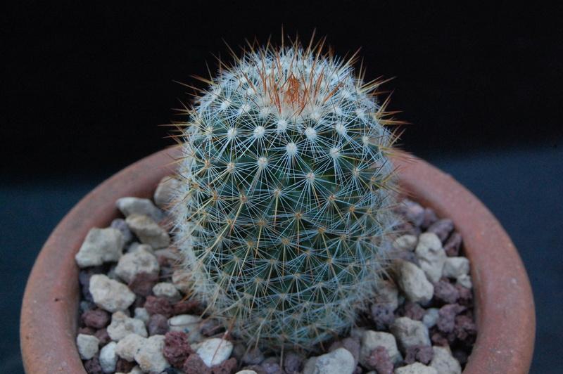 Mammillaria rekoi 9287-210