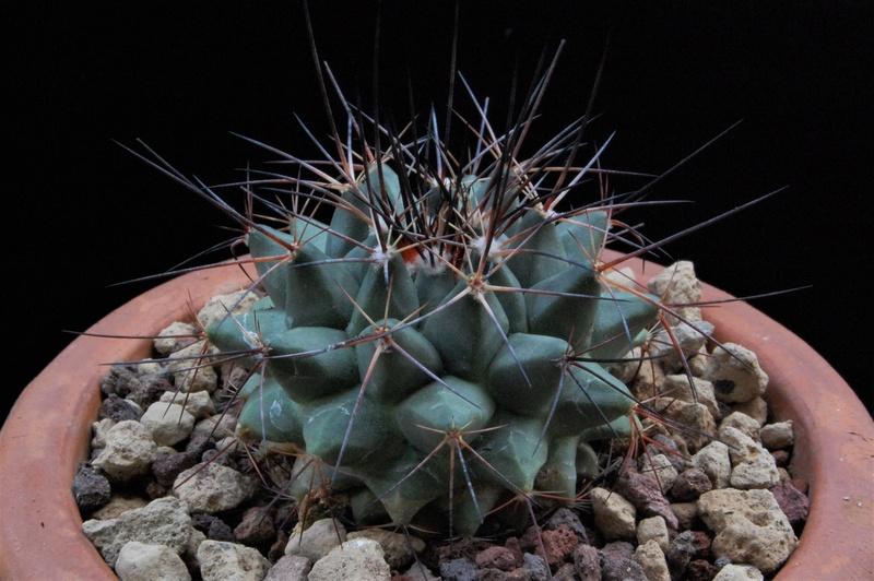 Mammillaria melanocentra 9444-210