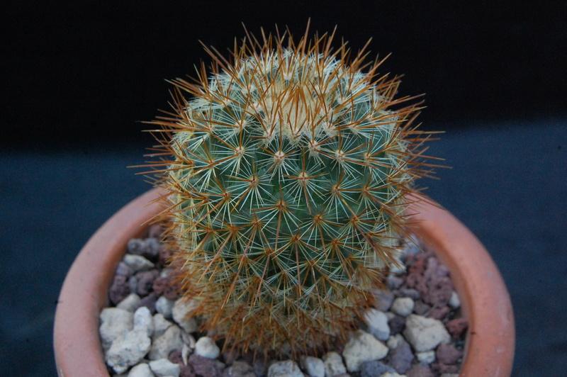 Mammillaria rhodantha 9454-210