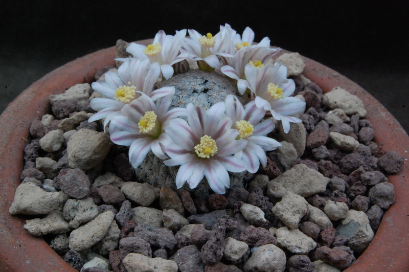Mammillaria sanchez-mejoradae 9765-210
