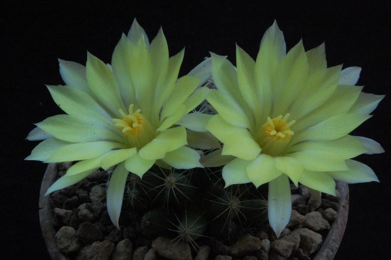 Mammillaria sphaerica 9769-210