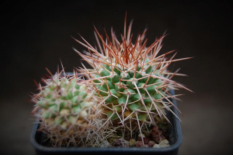Mammillaria carnea 9873-211