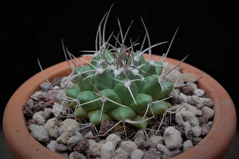 Mammillaria macracantha 9920-210