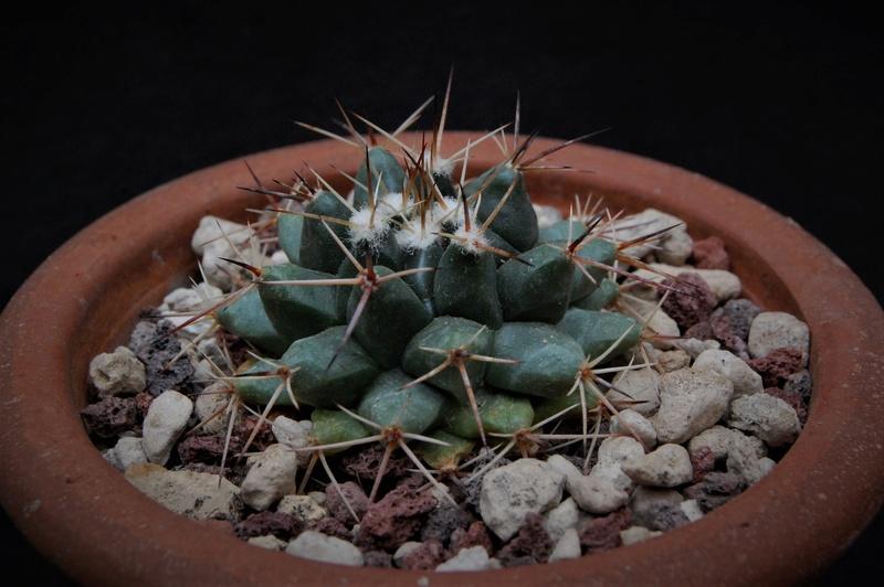Mammillaria roseoalba 9928-211