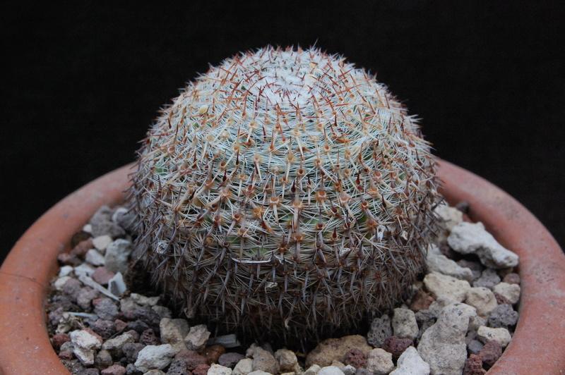 Mammillaria formosa 9935-210
