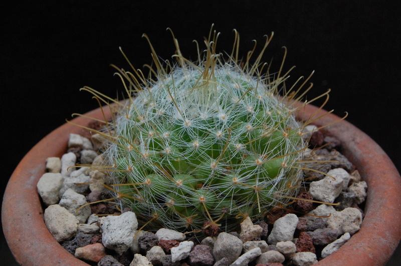 Mammillaria sinistrohamata 9952-210