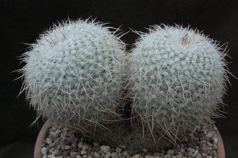 Mammillaria parkinsonii 9965-210