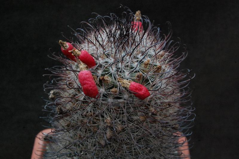 Mammillaria microcarpa 9966-210