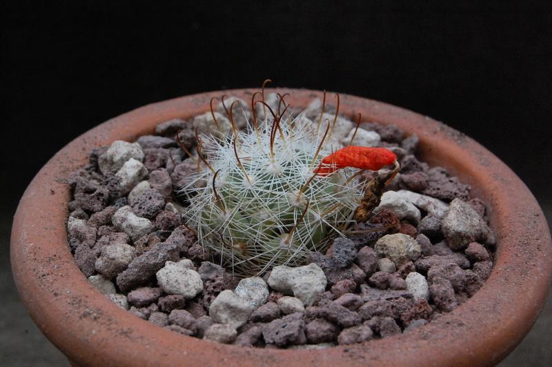 Mammillaria boolii 9973-210