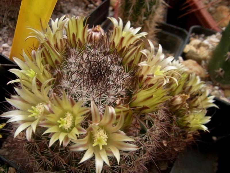 Mammillaria gatesii Gatesi10