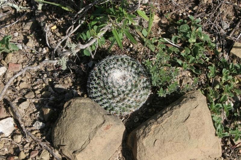 Mammillaria formosa Img_0323