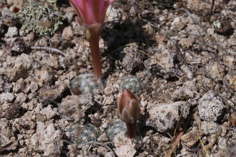 Mammillaria saboae Img_0713