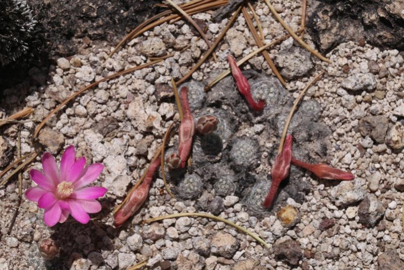 Mammillaria saboae Img_0714