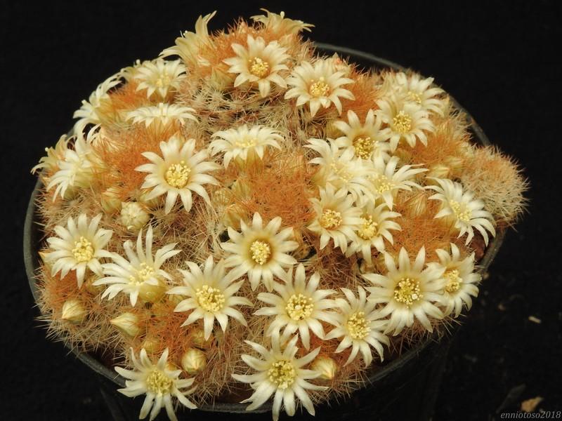 Mammillaria magallanii Lasiac10