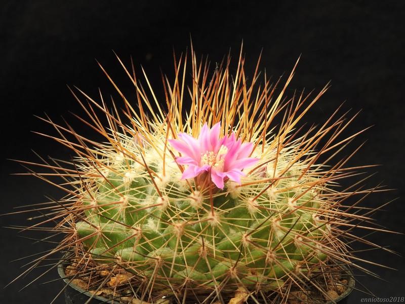 Mammillaria melanocentra Melano10