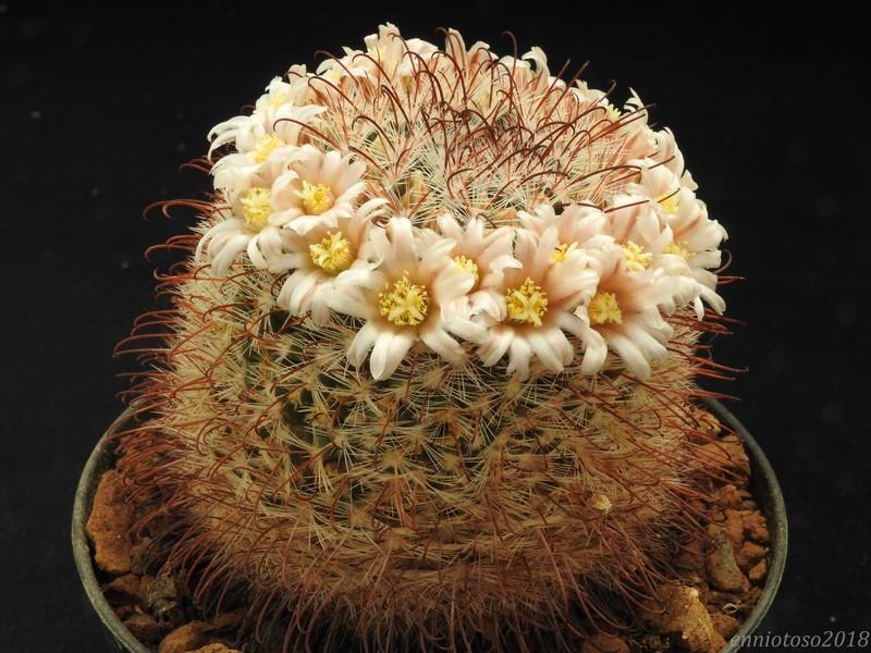 Mammillaria mercadensis Mercad10