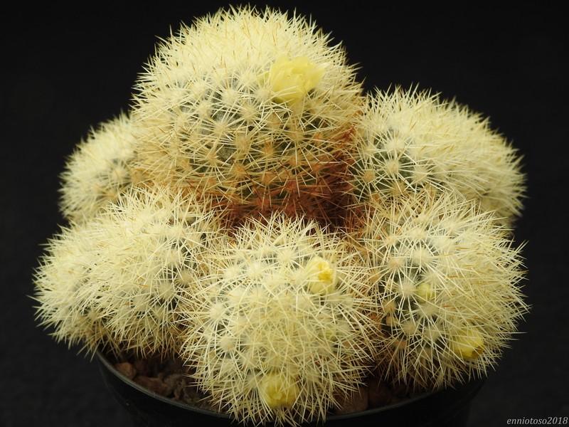 Mammillaria mieheana Miehea10