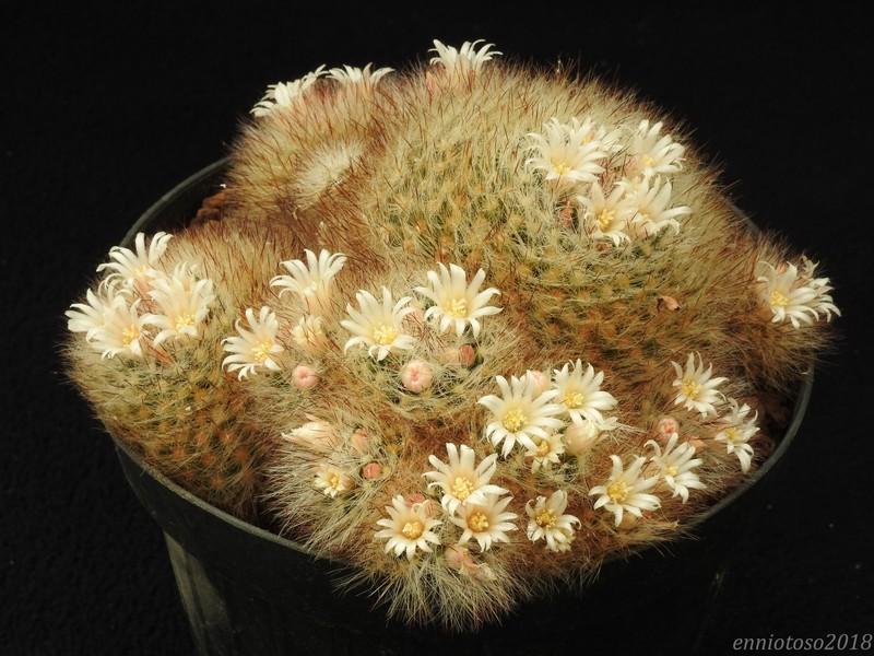 Mammillaria subtilis Pilisp11