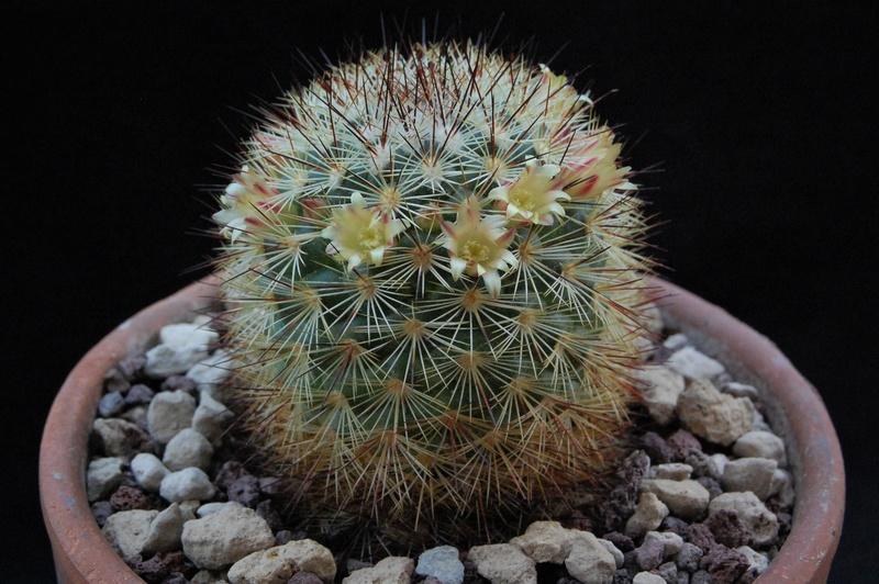 Mammillaria densispina Rogg5010