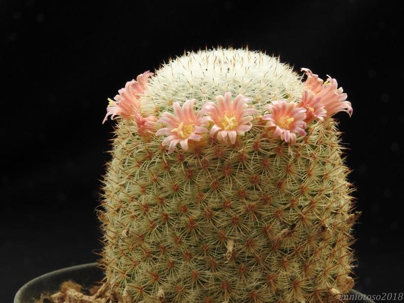 Mammillaria supertexta Supert11