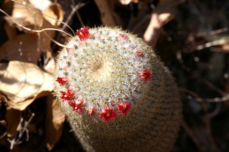 Mammillaria flavicentra Untitl10
