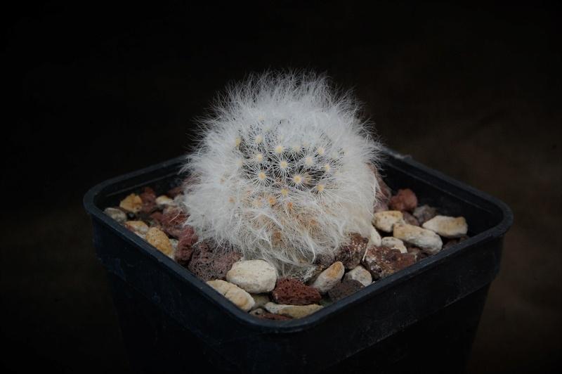 Mammillaria albicoma Zanovi10