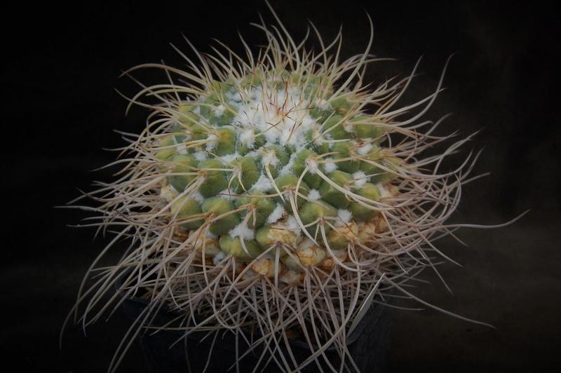 Mammillaria compressa Zanovi13