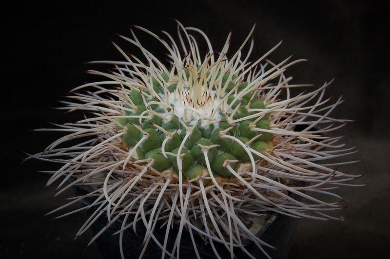 Mammillaria compressa Zanovi14