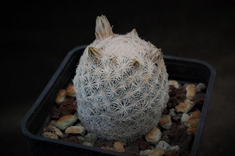 Mammillaria denudata Zanovi16