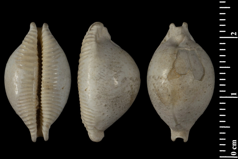 Cypraeidae - † Cypraea (Pustularia) cicercula - (Nouvelle Calédonie - Ile des Pins) 14504210