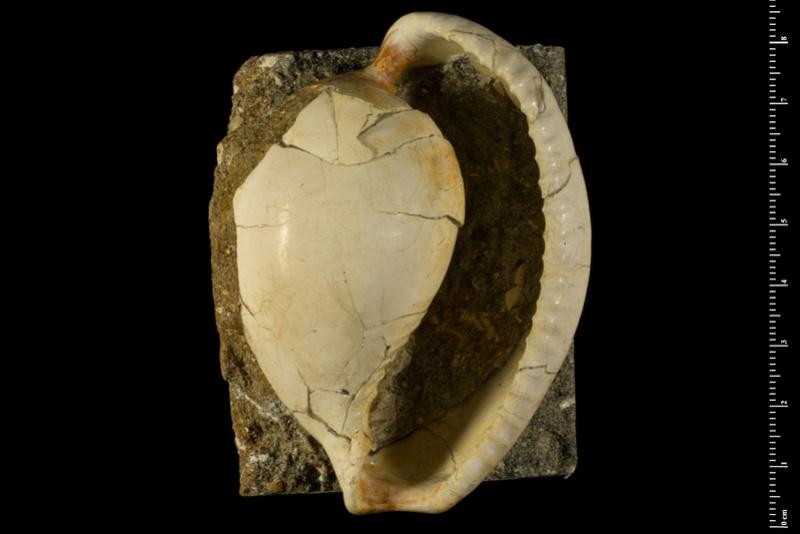 Sphaerocypraea incomparabilis - (Briano, 1993) 14894110