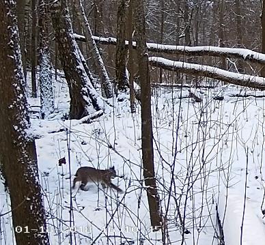 Lynx Cam 2018-010