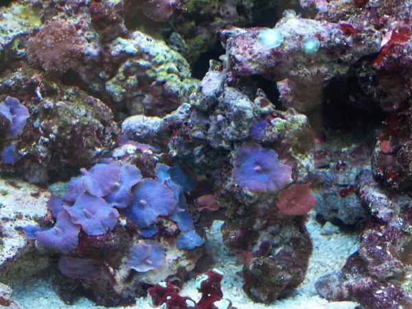 Actinodiscus sp. (Blue Mushroom) 22910