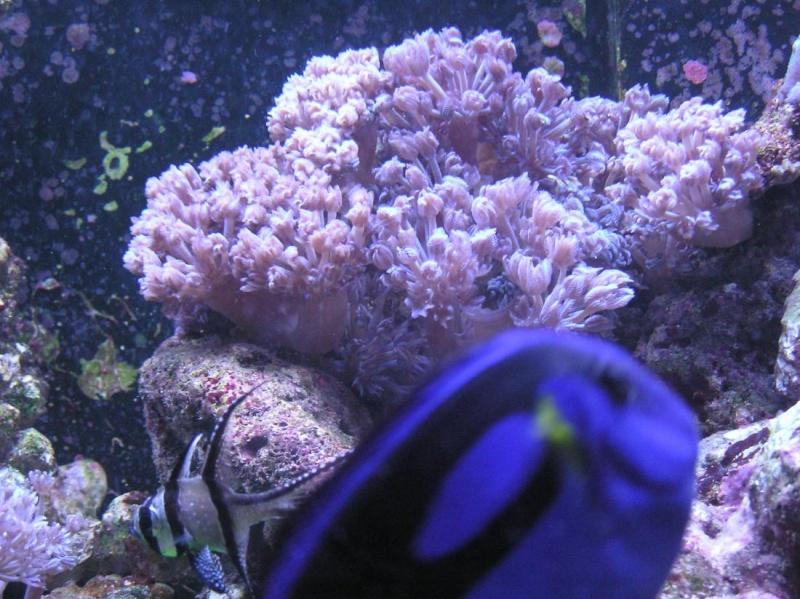 Xenia elongata (Pulse Coral) Koraal11