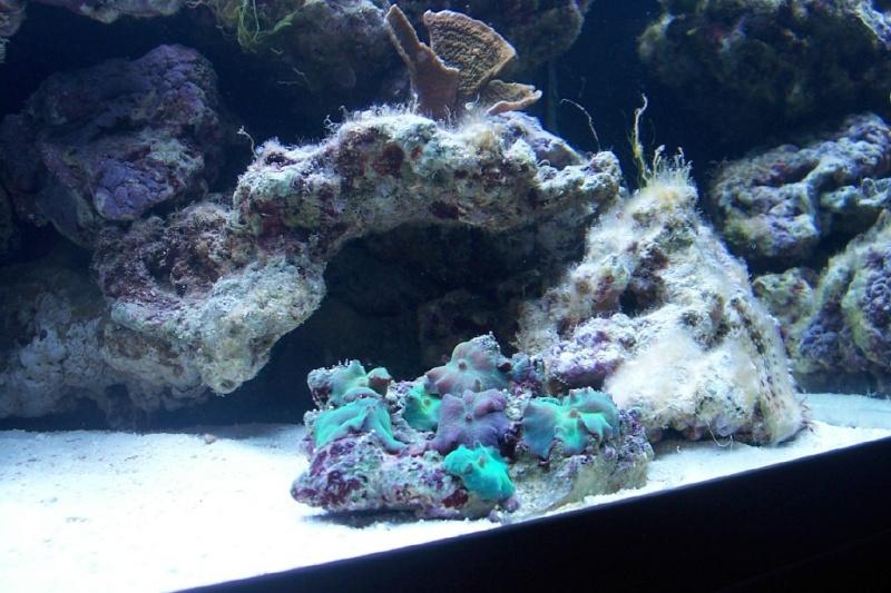 Actinodiscus sp. (Purple/Blue Mushroom) Rif20m11