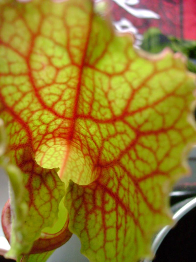 ma sarracenia leucophylla x mitchelliana Dsc02619