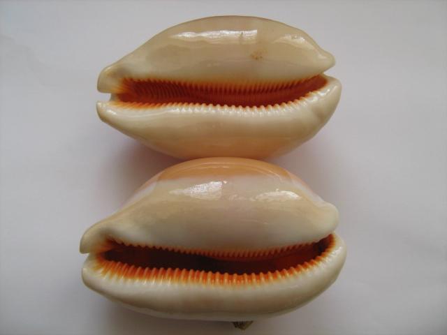 Callistocypraea aurantium - (Gmelin, 1791) - Présence en Nouvelle Calédonie 00212