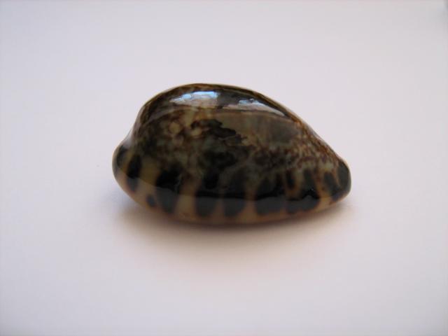 Melicerona felina fabula - (Kiener, 1843) 01710