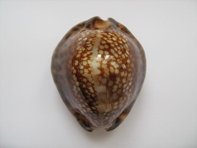 Mauritia maculifera martybealsi - Lorenz, 2002 A_14911