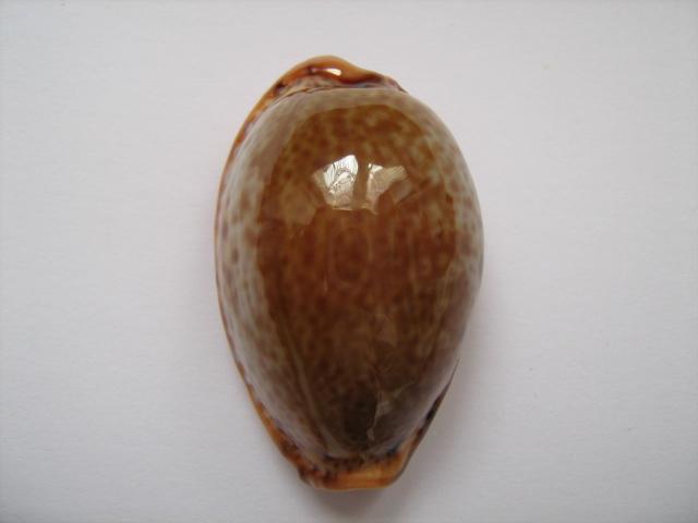 Naria spurca - (Linnaeus, 1758) A_17010