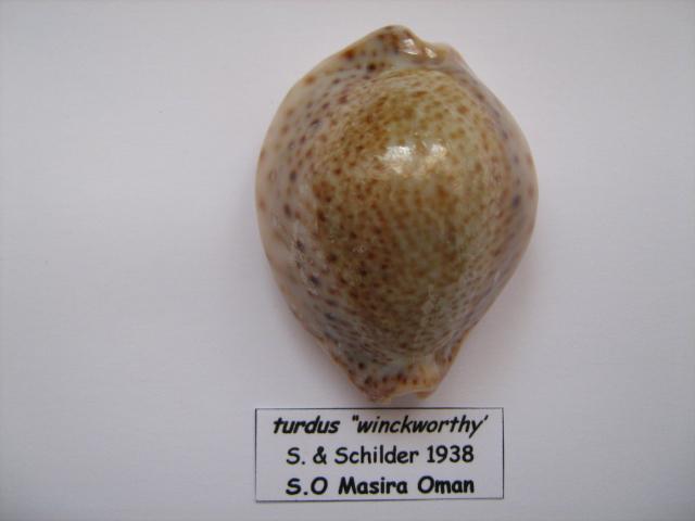 Naria turdus - (Lamarck, 1810) Cyp_0012