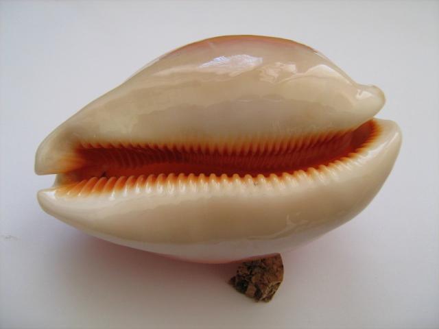 Callistocypraea aurantium - (Gmelin, 1791) - Présence en Nouvelle Calédonie Ttdyj_11